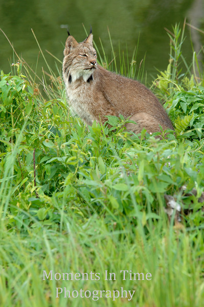 Lynx focused