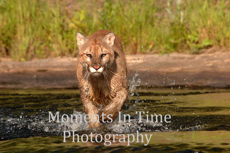 Cougar crossing river