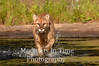 Cougar crossing river