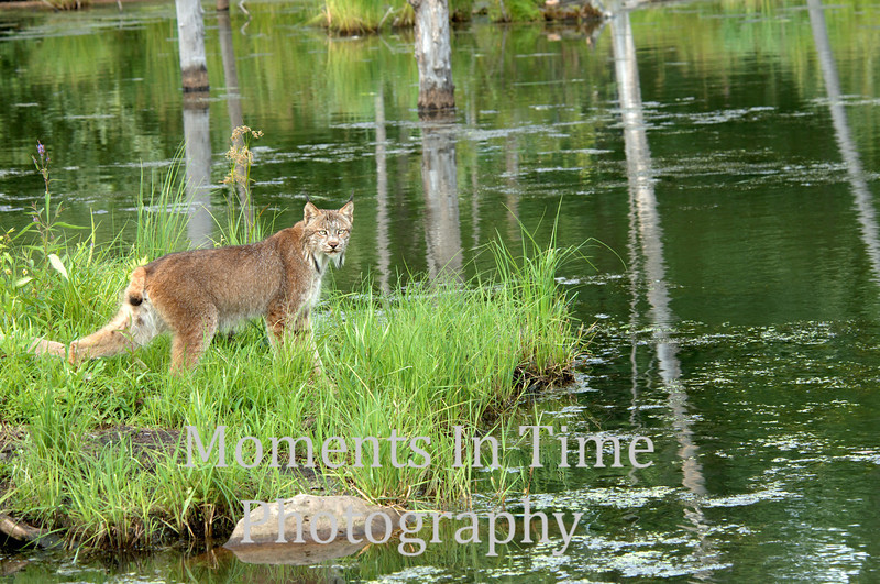 Lynx profiled by pond