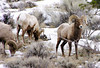 Rams doing some feeding - Yellowstone Park