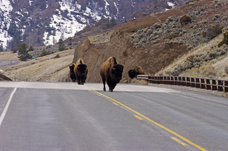 Bison near East Gate - Yellowstone Park