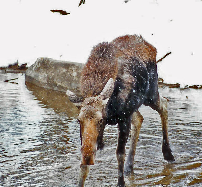 Moose in the Blue River - Summit county Colorado