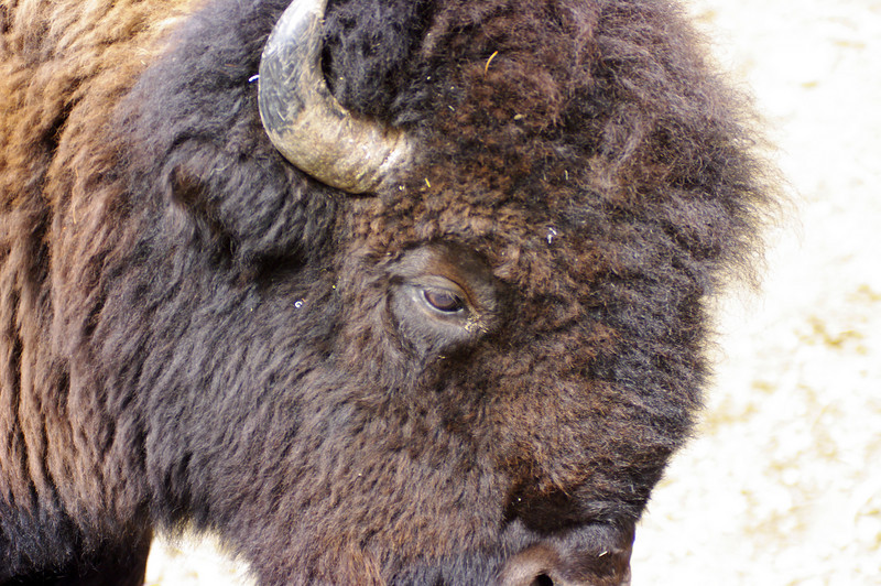 Bison - Close