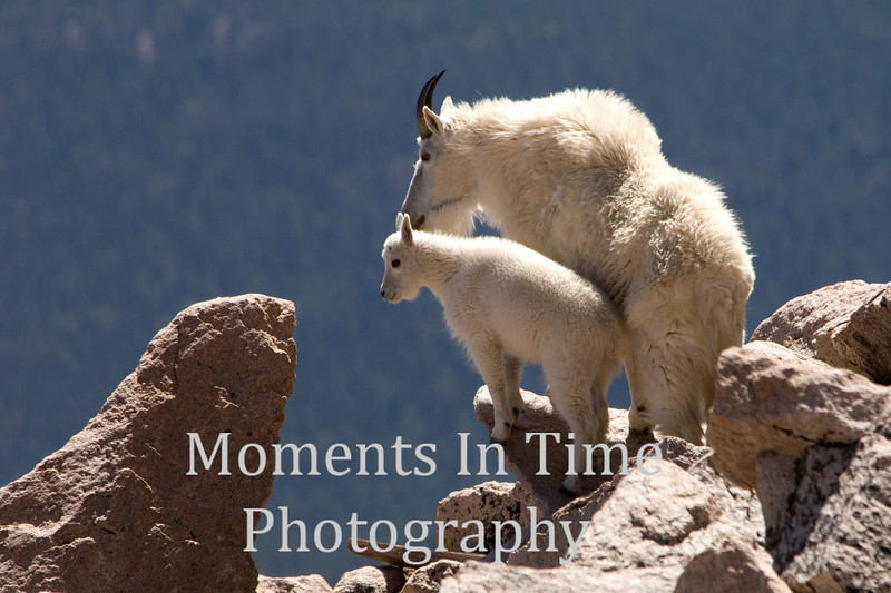 Mountain goat mom & young