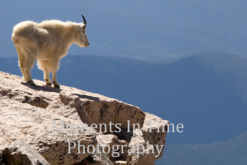 Mountain goat vista
