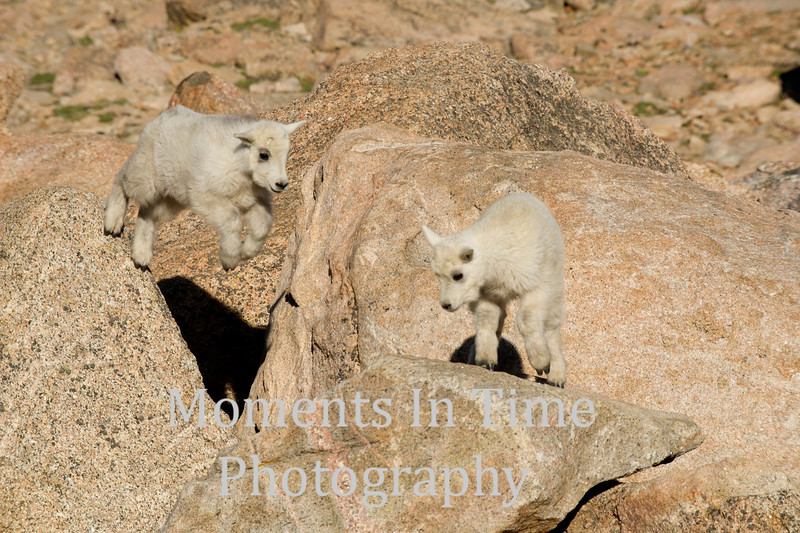 Two mountain goat kids in action