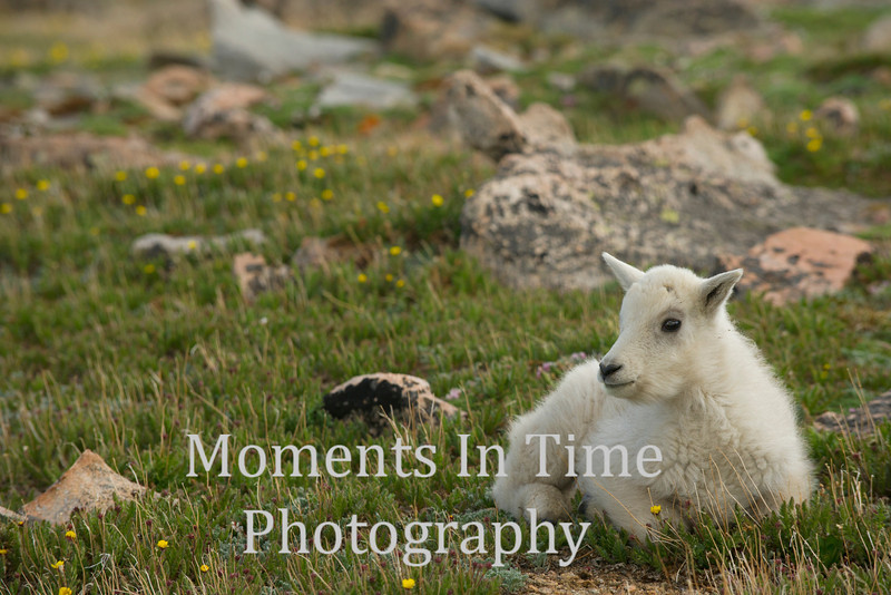 Young mountain goat sitting in grass with yellow flowers
