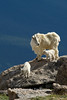 Mountain goats on rock dark behind