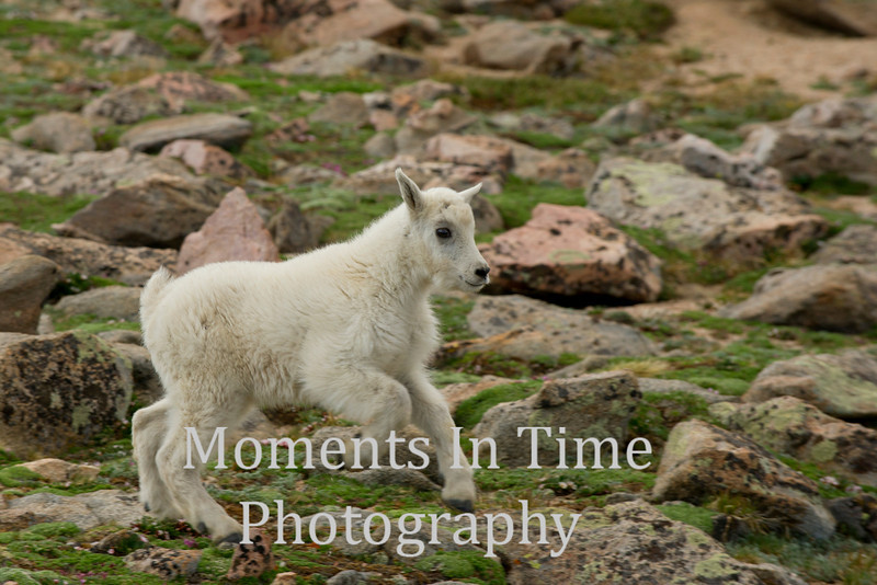 Mountain goat kid running