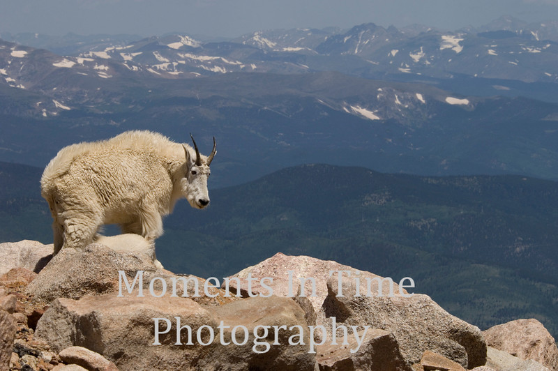 Mountain goat (oreamnos americanus)