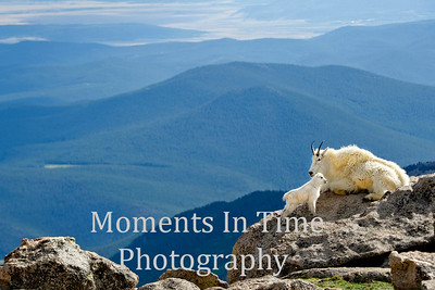 Mountain goat with kid with vista