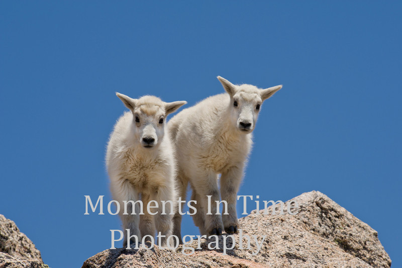Two mountain goat kids on rock