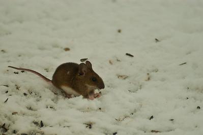Metsähiiri - Yellow-necked mouse - Apodemus flavicollis
