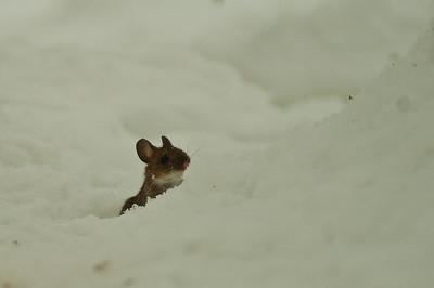 Metsähiiri - Yellow-necked mouse - Apodemus flavicollis Helsinki 2013