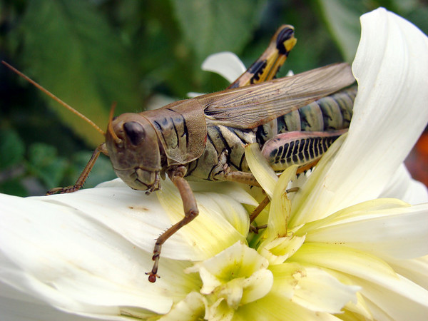 Mr. Grasshopper and the beautiful white flower