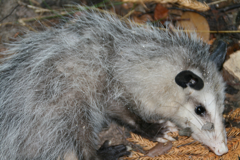 Mr Possum visits the back yard in the morning.