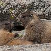 Squabbling Marmots