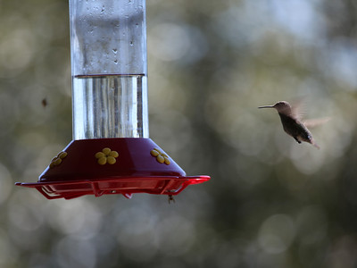 Mt Wilson Humming Birds