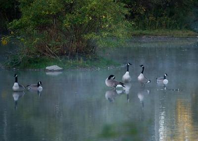 Geese at Mud Hen Marsh in Galena Ohio
