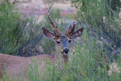 Cactus Buck