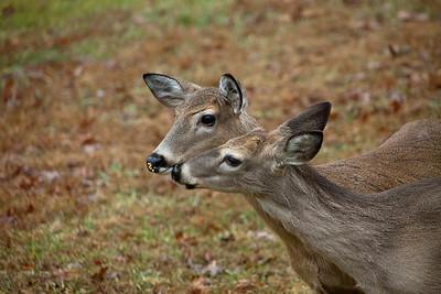 Mule Deer-01022011-095602 (2)(f)