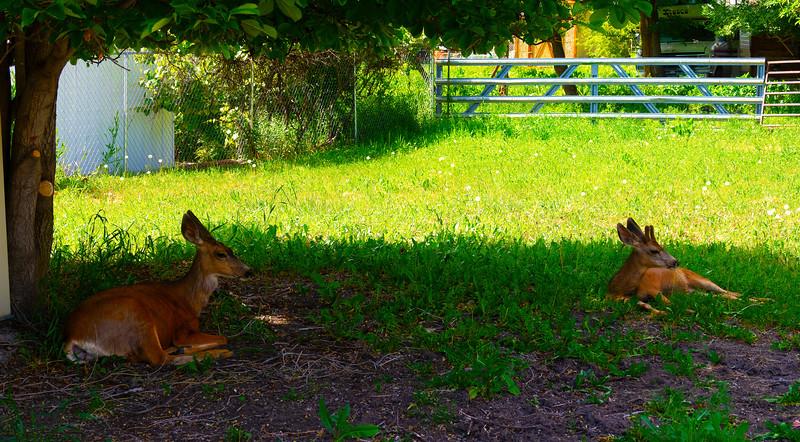 Mother & Son Mule Deer