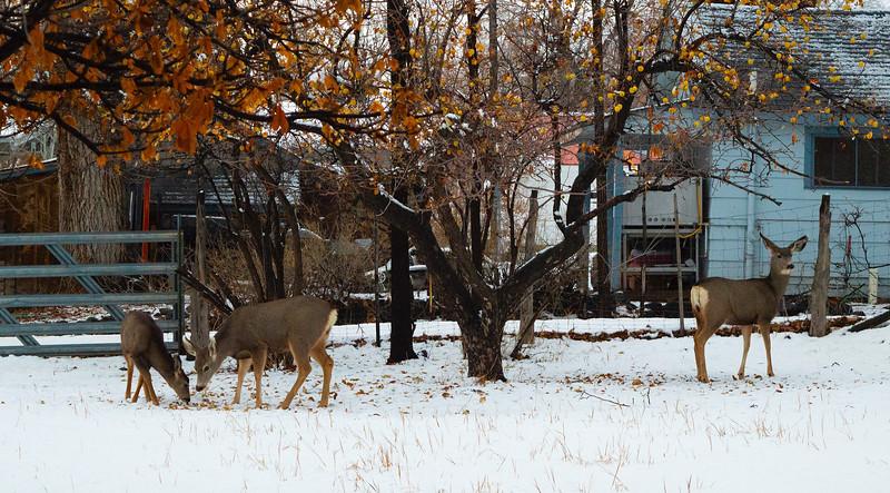 Mule deer Does & Fawn