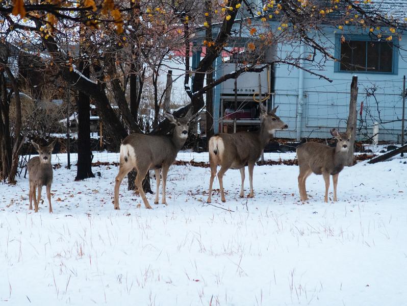 Mule deer Does & Fawns
