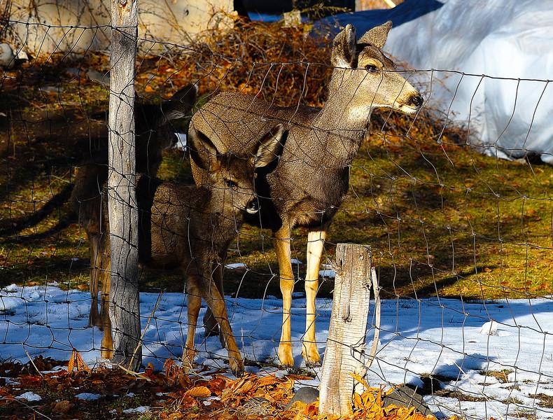 Mule Deer & Fawn