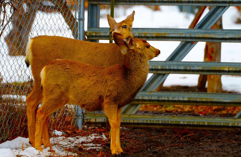 Mule Deer Doe & Fawn