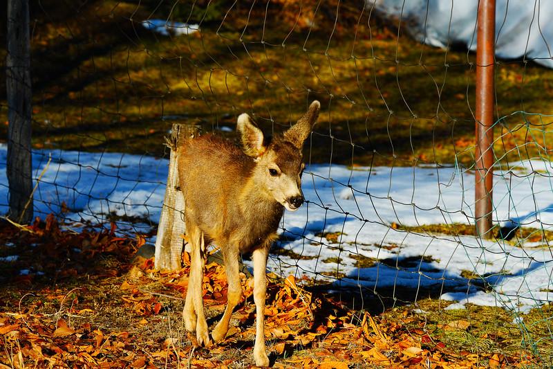 Mule Deer Fawn