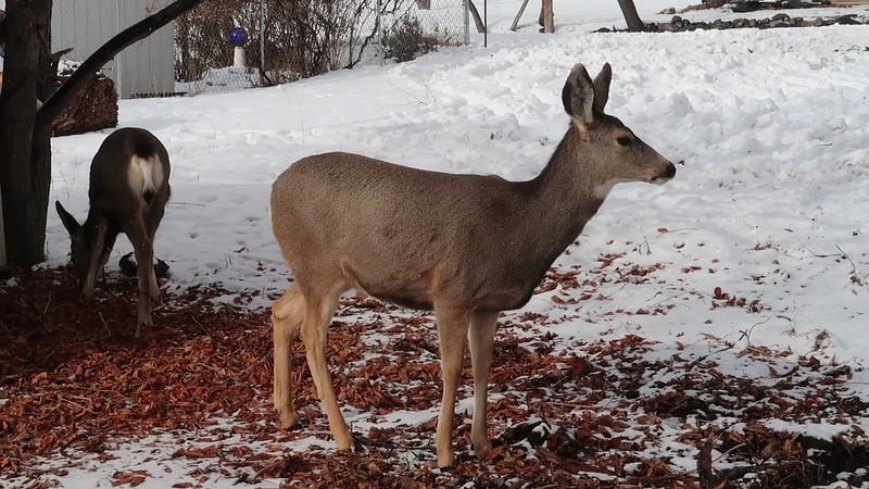 Mule Deer Video