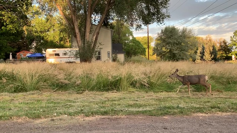 Video of Mule Deer Doe with playful Fawns