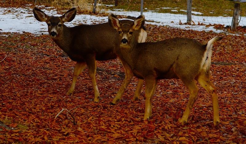 Mule Deer Fawns