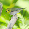 Oriental White-eye Bird