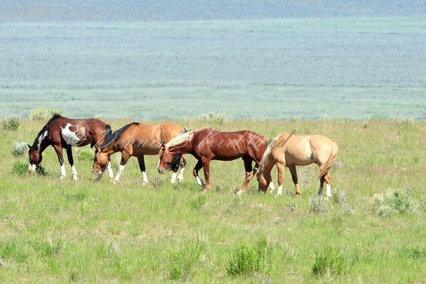 Mustang Bachelor Stallions