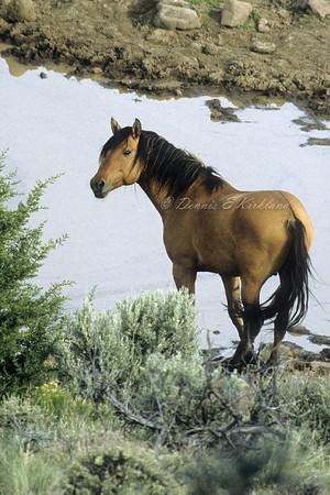 Kiger Mustang Stallion