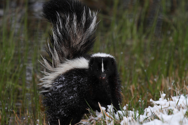 Wet, cold and unhappy.  This skunk had been flooded out of it's den by the spring thaw and was in search of higher ground.