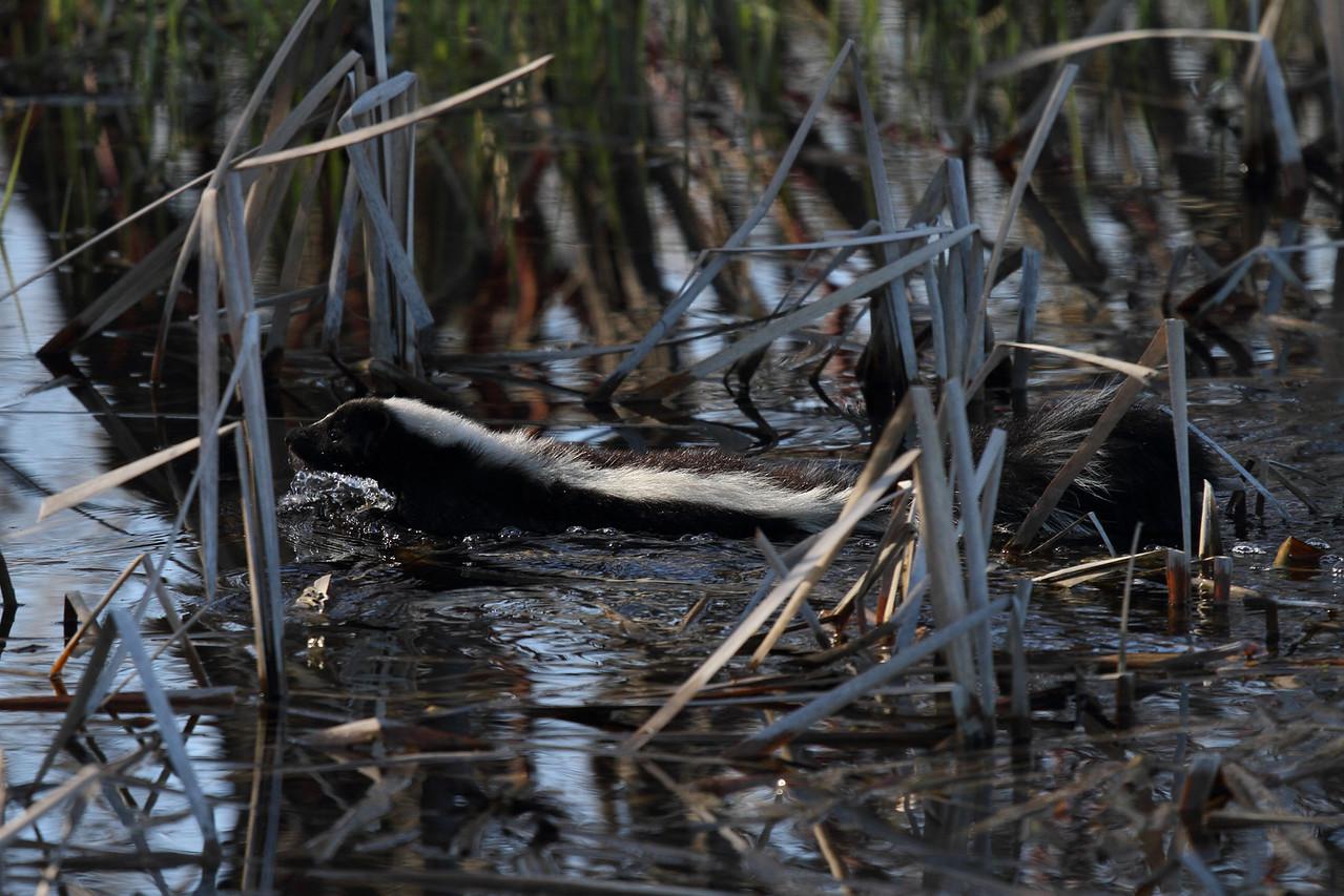 Striped Skunk Swimming