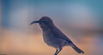 Palestinian Sunbird (Female)