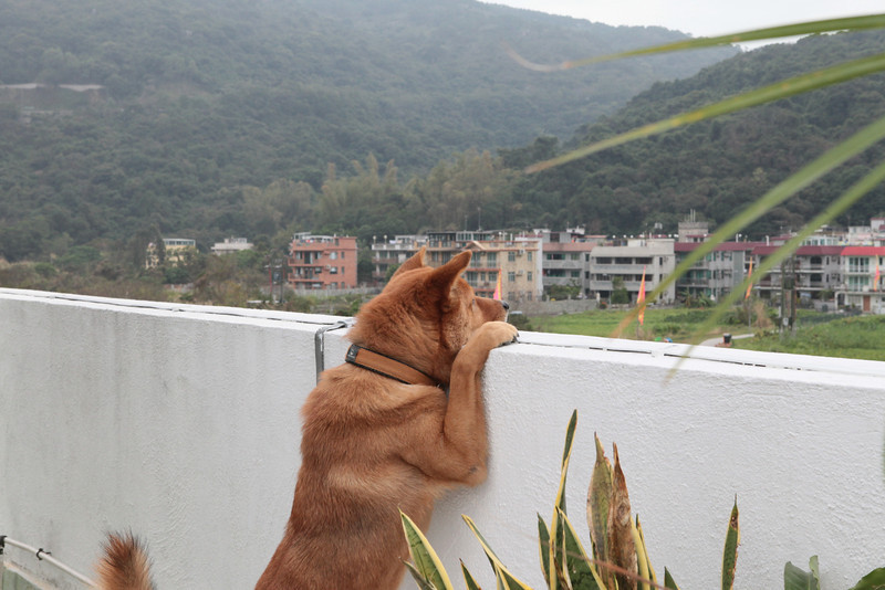 Mong Jai checking what his worst enemy from the neighbours is doing, Luk Tei Tong village in the background