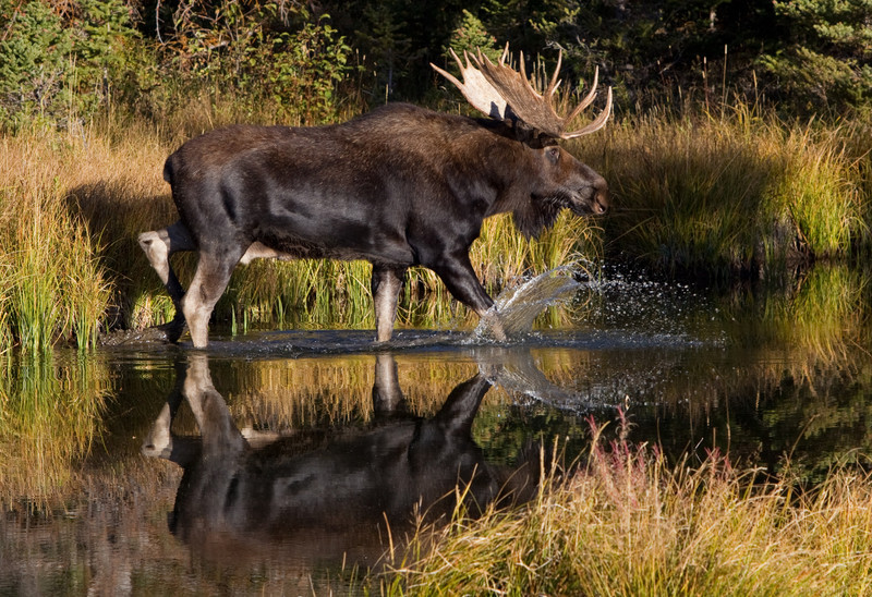 Bull Moose-Grand Teton National Park