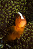 Skunk Anemonefish