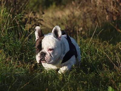 My French Bulldog Gimli. He is now almost seven years old. Here is a bunch of pics of him from puppy till now. Photo: Martin Bager.