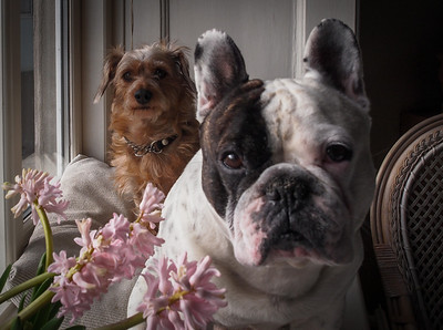 Our French Bulldog and Hairball. Photo:Martin Bager.