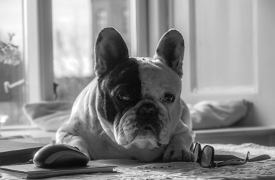 Our French Bulldog. Photo:Martin Bager.