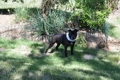 Butters the royal exploring Chewton Gardens at Xmas