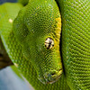 My Green Tree Python