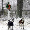 We posed Wonder and Kozie at a Waccabuc street sign during a snow storm one afternoon.  This photo got into the local paper.